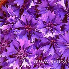 ziedai-rugiageles-v2-645-lap-130-nr-12-ir-13